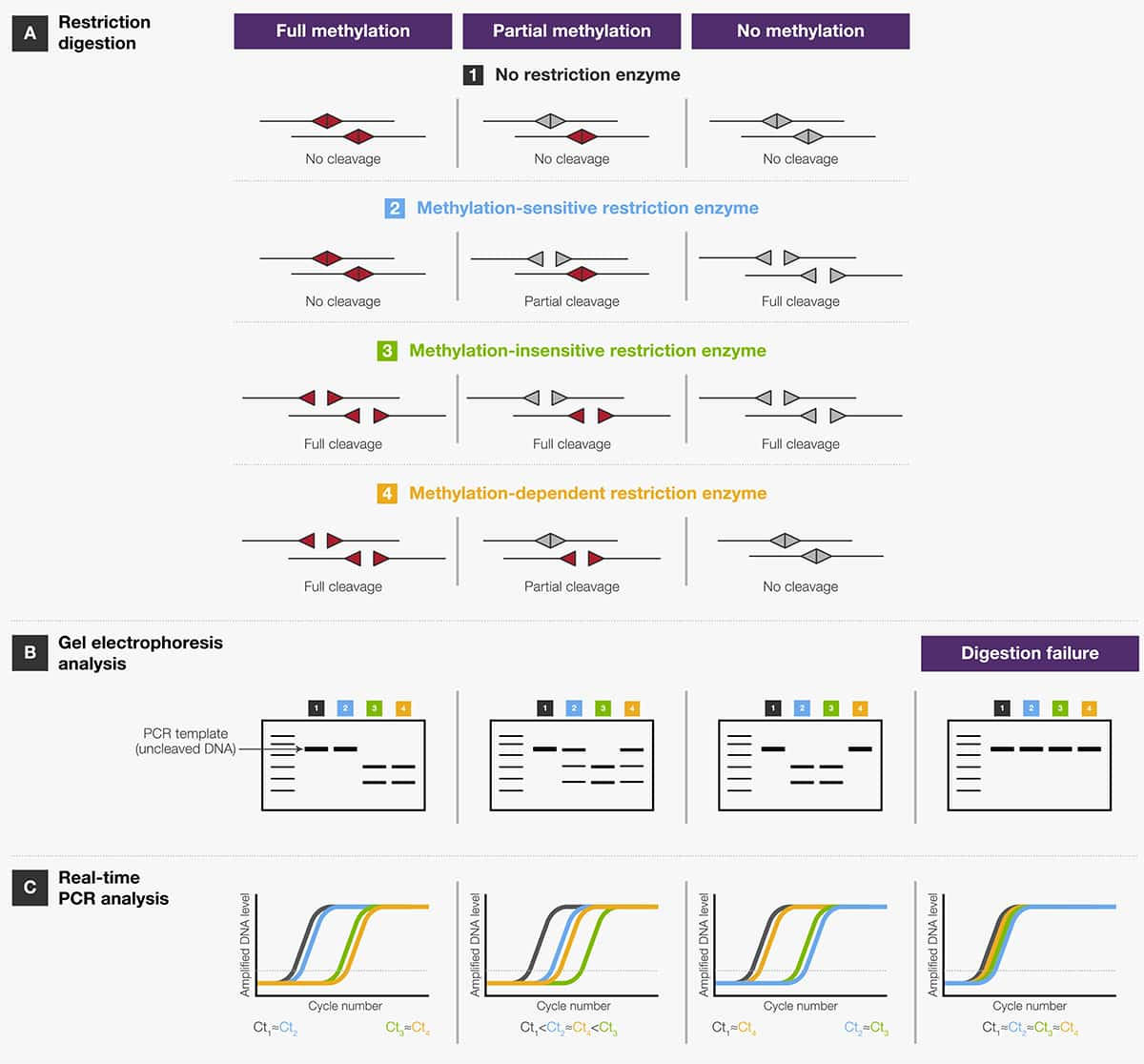 Restriction Enzymes In Genome Mapping Andysis