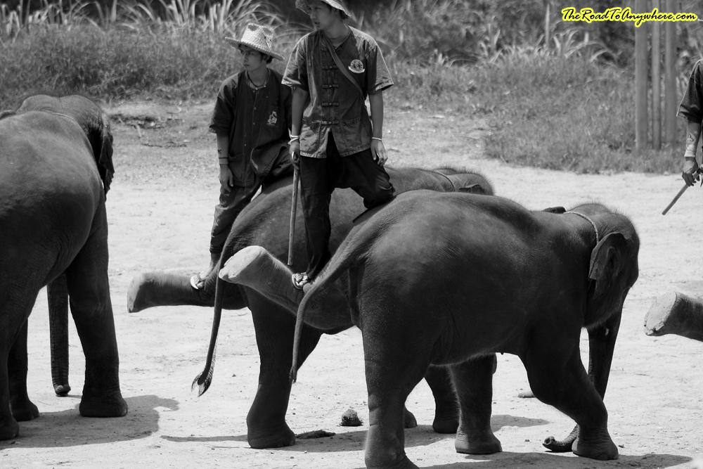 Elephants balancing at an elephant camp near Chiang Mai, Thailand