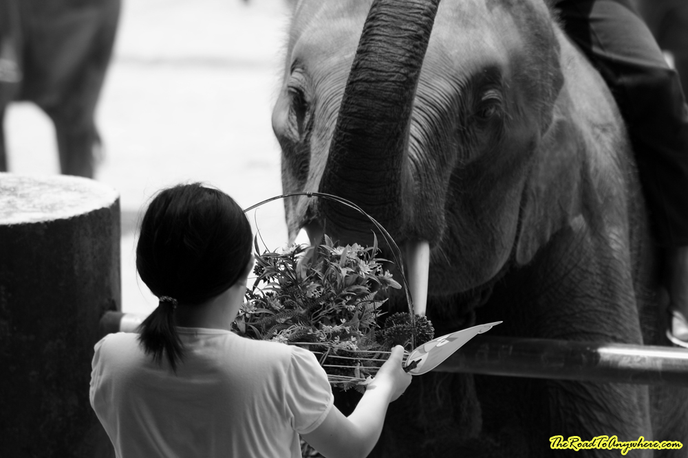 photo essay an elephant camp in black and white elephant flowers at an elephant camp near chiang mai thailand