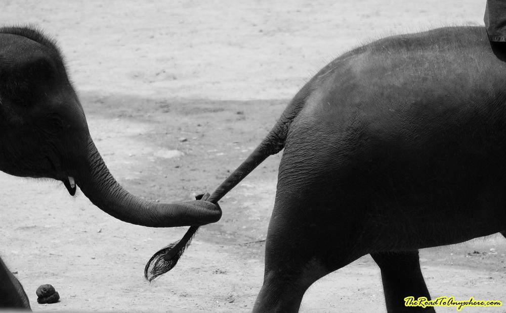 Elephants holding tails at an elephant camp near Chiang Mai, Thailand