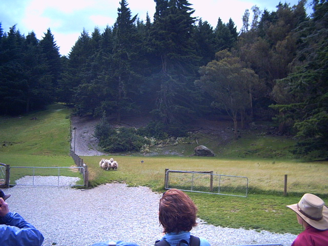 Dog herding sheep in Queenstown, New Zealand