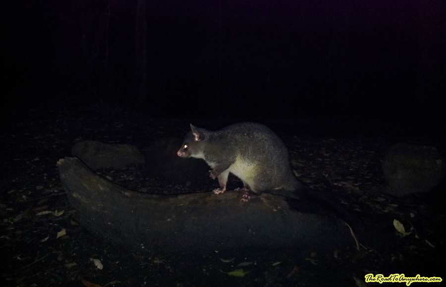 A possum at Mount Barney, Australia