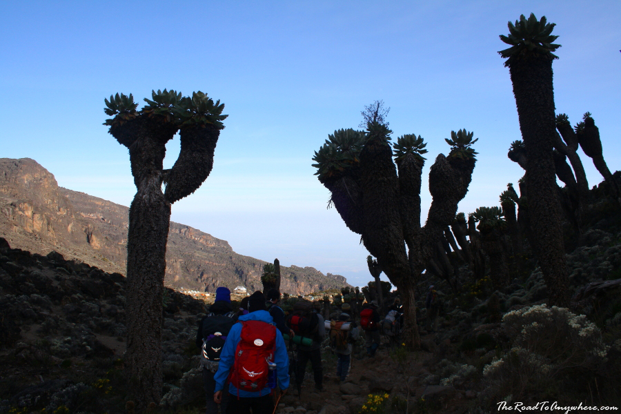 Giant Groundsels in the Barranco Valley on Mount Kilimanjaro, Tanzania
