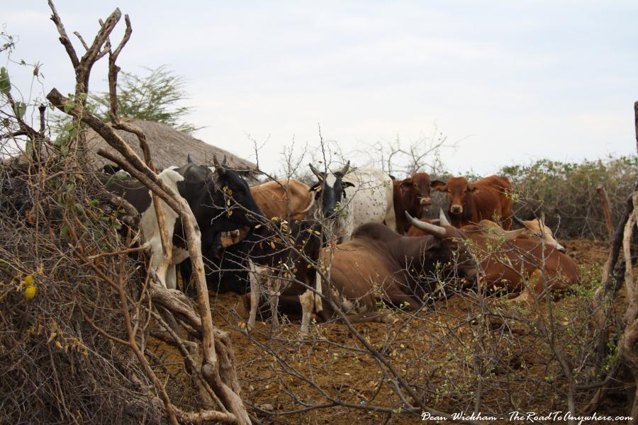 Cattle in a Masai Village in Tanzania