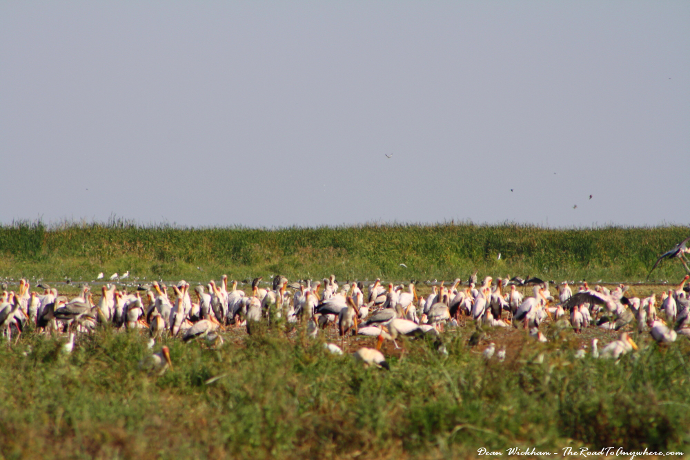 Flock of stalks in Lake Manyara National Park, Tanzania