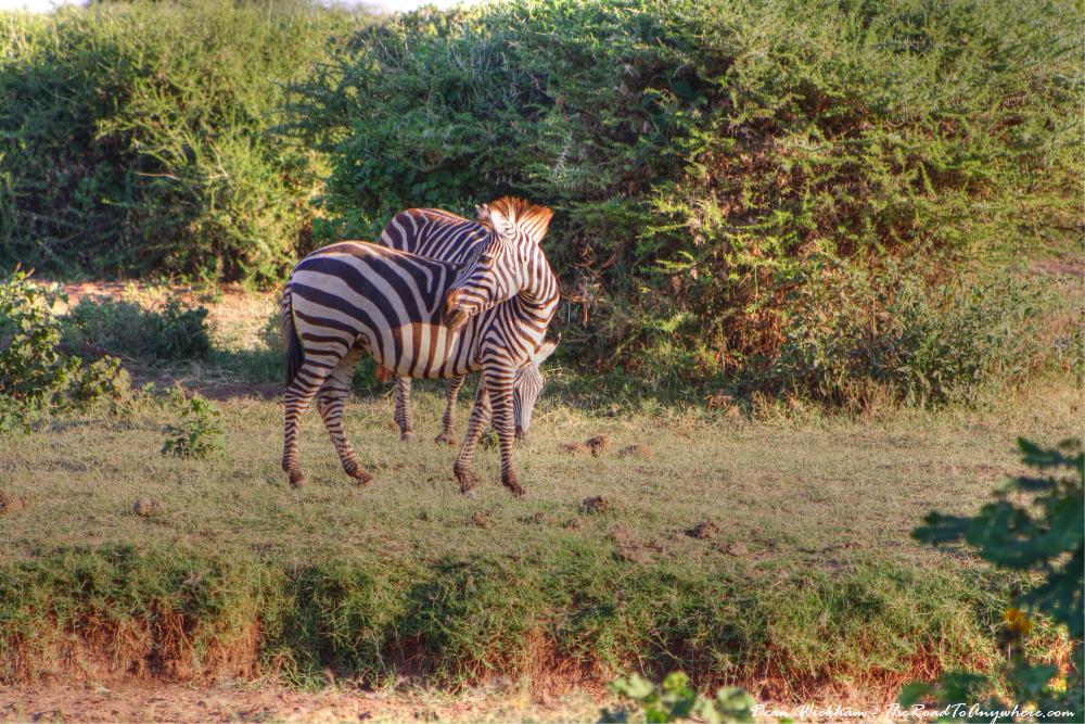 Zebras in Lake Manyara National Park, Tanzania