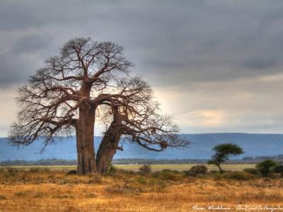A baobab tree near a a Masai Village in Tanzania
