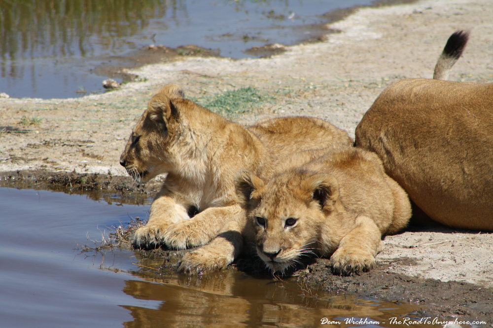 Lion cubs playing with the water at a waterhole in Serengeti National Park, Tanzania