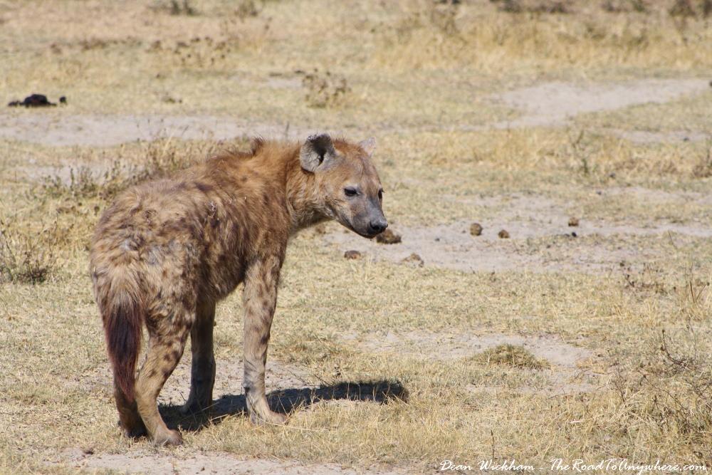 A hyena in Ngorongoro Crater, Tanzania