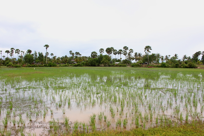Rice fields outside of Kampot, Cambodia