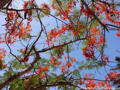 View through a flame tree in Nha Trang, Vietnam