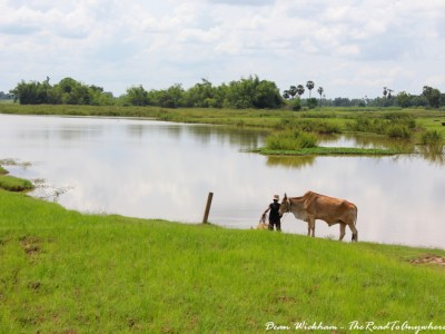 Farmer and cattle on Koh Trong, Cambodia