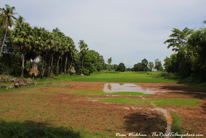 Rice fields on Koh Trong in Cambodia