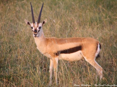 Antelope in the Serengeti National Park, Tanzania