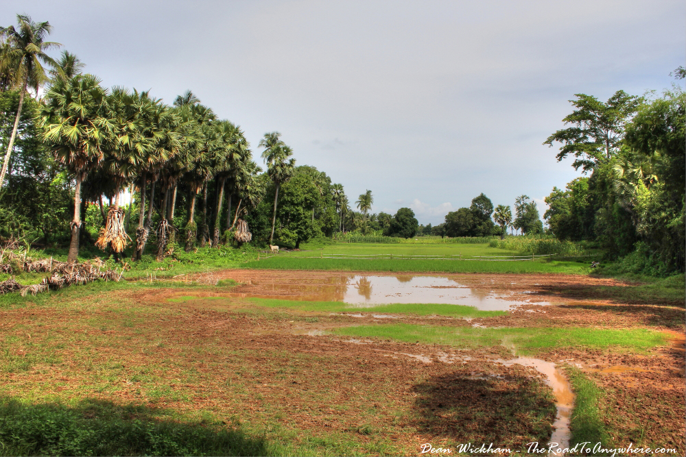 Rice Fields on Koh Trong, Cambodia