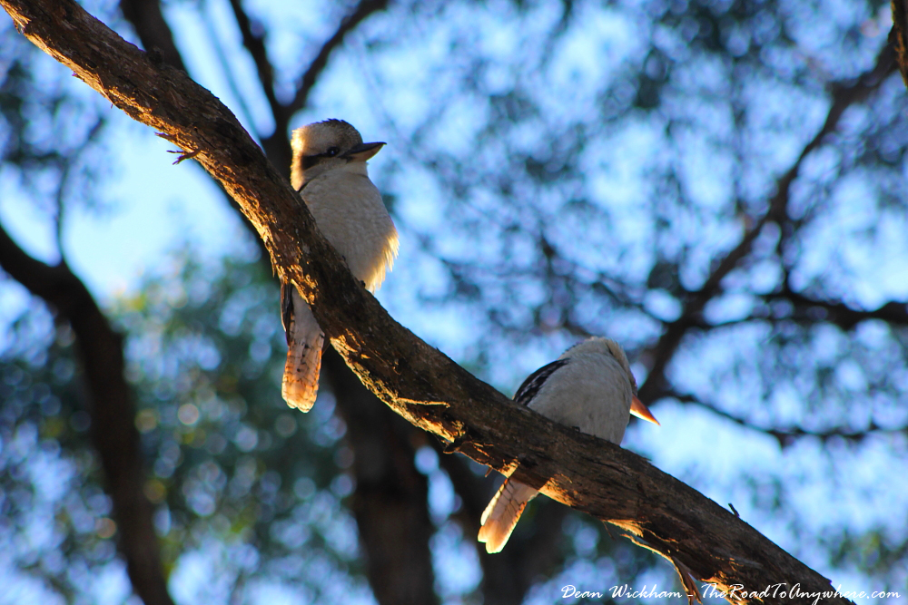 Kookaburras on a branch in Gembrook, Australia