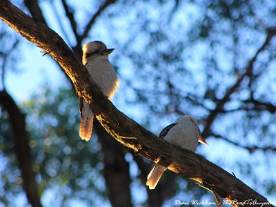 Kookaburras on a branch in Gembrook, Australia