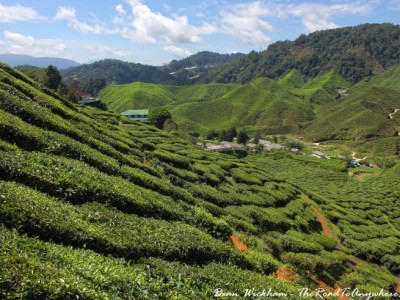 Tea Plantation in Cameron Highlands Malaysia