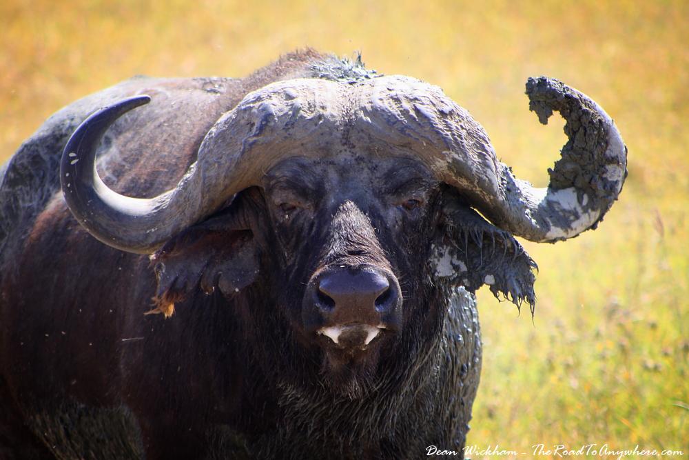 Close up of a Buffalo in Ngorongoro Crater, Tanzania