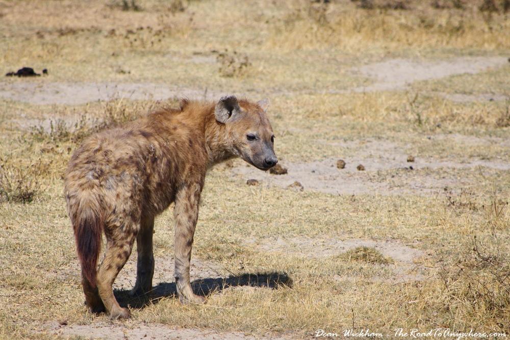 Hyena in Ngorongoro Crater, Tanzania