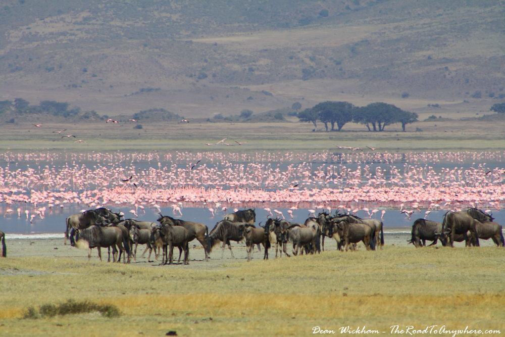 Herd of Wildebeest and a flock of Flamingos in Ngorongoro Crater, Tanzania
