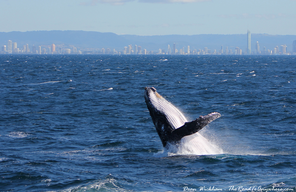 Humpback whale breaching the water on the Gold Coast, Australia