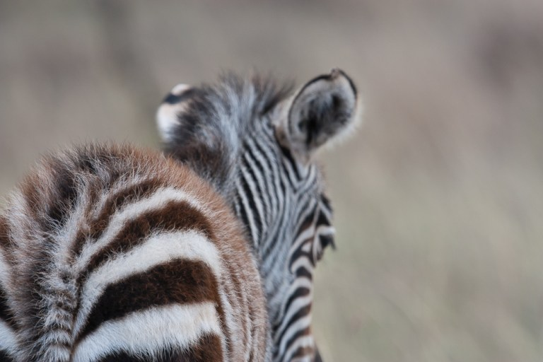 Backside of baby zebra in Nairobi National Park