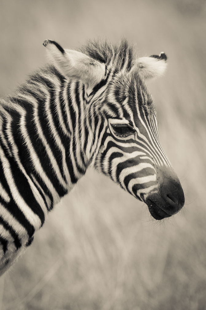 Baby Zebra in Nairobi National Park
