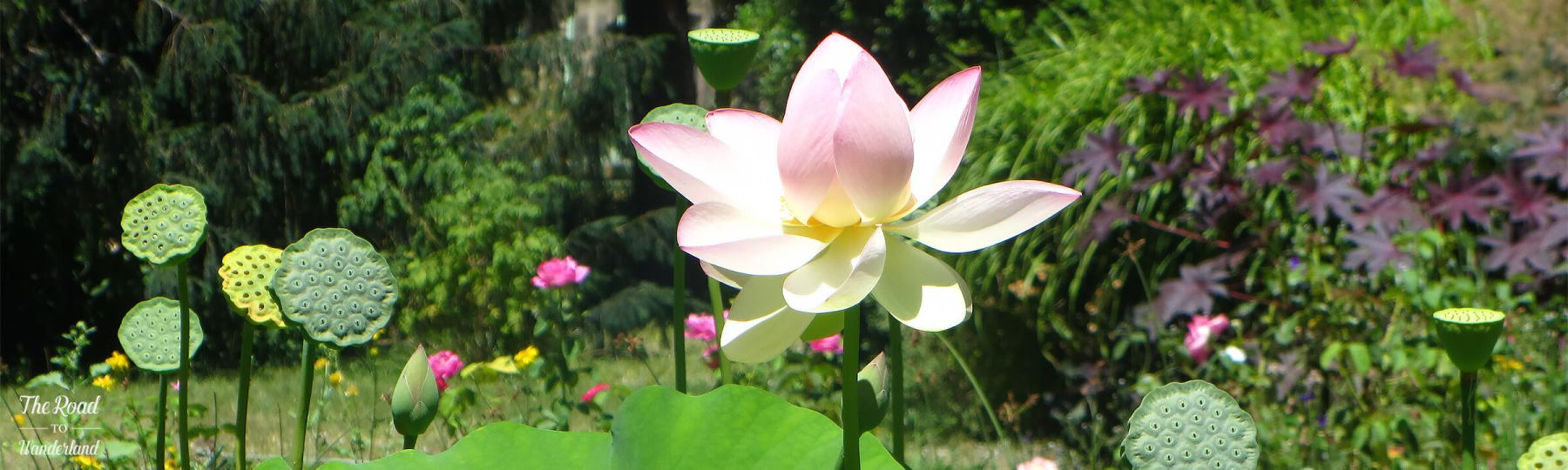 Lotus flower & seed pods, header image