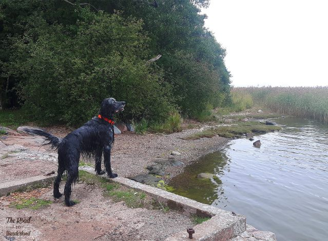 Out walking with the beautiful Oscar – a blue picardy spaniel – in Espoo, Finland