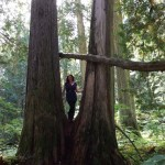 Giant trees standing and laying in the ancient forest