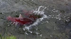 Moose the Salmon-web