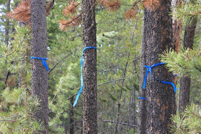 Dead pine hazard trees