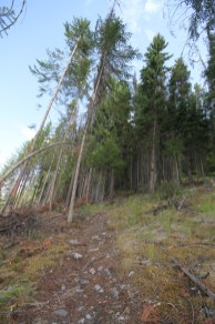 Mt Terry Fox Trail Logging - the trail as it returns into the woods (6)