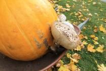 Fall harvest osadchuk pumpkin mushroom valemount (15)
