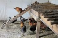 backyard hens chickens eggs (10)