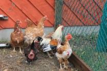 backyard hens chickens eggs (18)