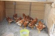 backyard hens chickens eggs (5)