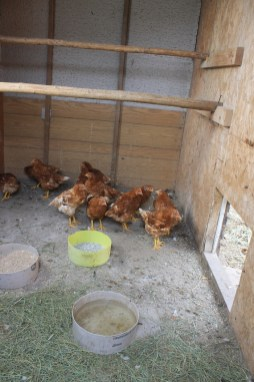 backyard hens chickens eggs (6)