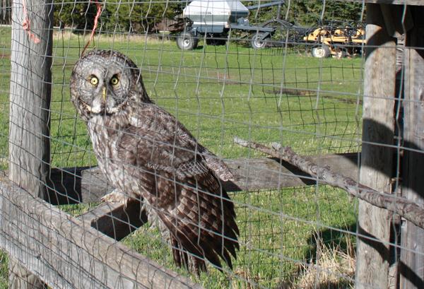 McBride Great Grey Owl (2)