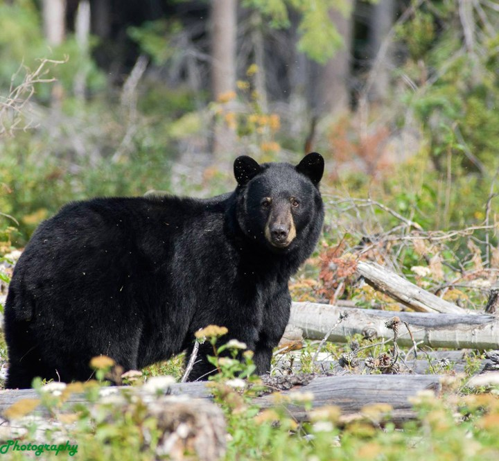Bears in BC take the brunt of negative human behaviour