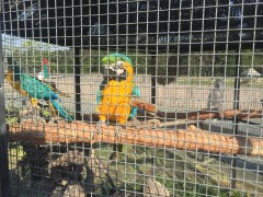 Blue-and-Yellow Macaw.