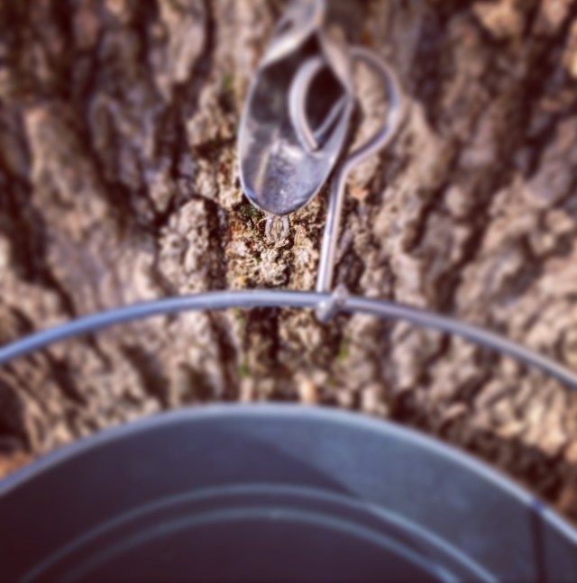 Tap maple tree for sap