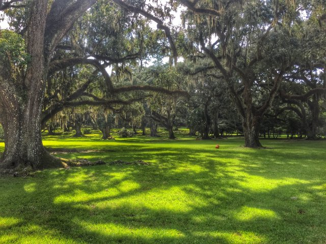 Oak Trees in the Jungle Gardens, Avery Island