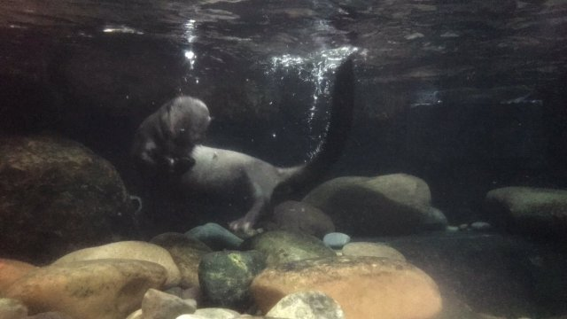 Giant otter at Dallas World Aquarium
