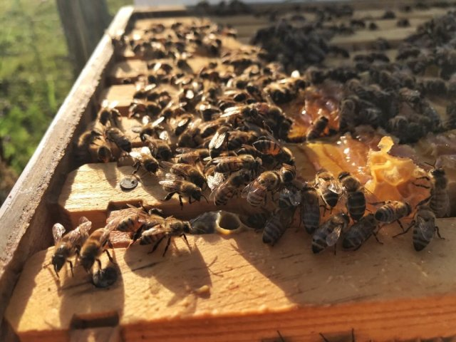 Bees and frames in hive