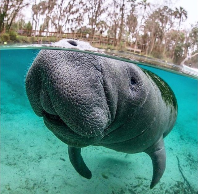 Manatee unclose Three Sisters Springs