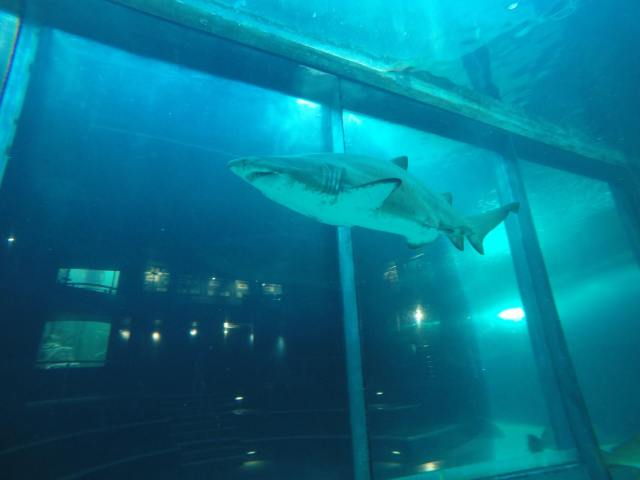 Diving Two Oceans Aquarium One of the sand tiger sharks!