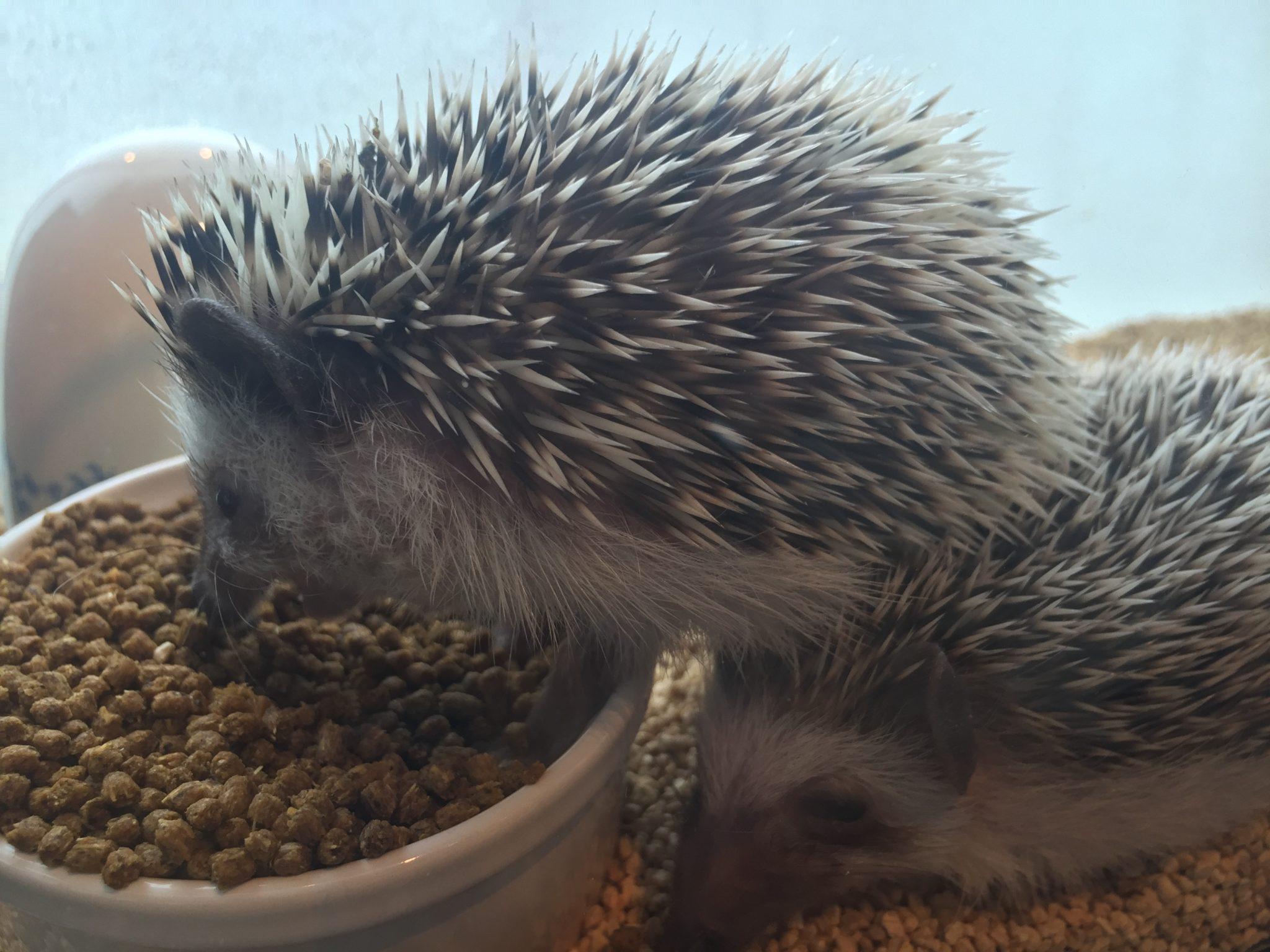 Harry hedgehog cafe - Pokey