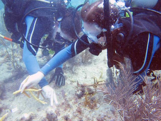 Diving in Key Largo - Planting corals